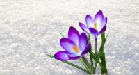 Bővebben: Krókusz Projekt - Virággal az erőszak ellen - az életért, az élőkért!